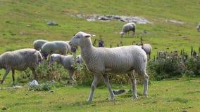 P?turage de moutons banque de vidéos