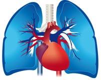 płuca Zdjęcia Stock