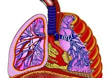 płuca Obrazy Royalty Free