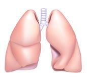 płuco Obrazy Royalty Free
