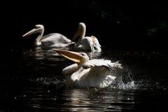 Płuczkowy pelikan Zdjęcia Royalty Free