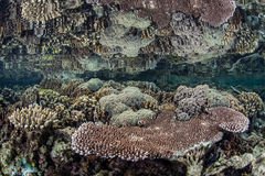 Płytka rafa koralowa 1 Obrazy Royalty Free