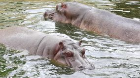 Pływaccy hipopotamy zbiory