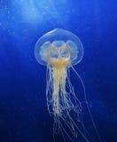 Pływaccy Jellyfish Zdjęcia Royalty Free