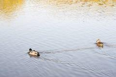 Pływaccy mallards Fotografia Stock