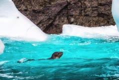 Pływacka Crabeater foka Zdjęcia Royalty Free