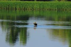 Pływacka dzika kaczka Obrazy Stock