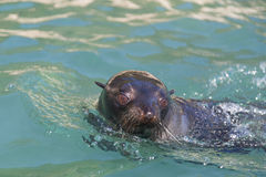 Pływacka foka w Abel Tasman parku narodowym Obraz Stock