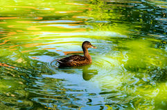 Pływacka kaczka Fotografia Stock