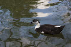 Pływacka kaczka Obraz Royalty Free