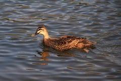 Pływacka kaczka Zdjęcia Stock