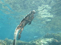 Pływacka morska iguana, Galapagos Fotografia Stock