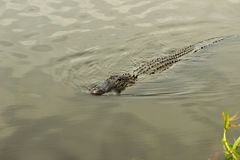 Pływacki aligator Fotografia Royalty Free