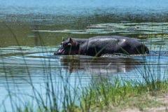 Pływacki hipopotam Obrazy Stock