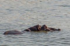 Pływacki hipopotam Zdjęcia Stock