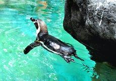 Pływacki pinguin Obraz Royalty Free