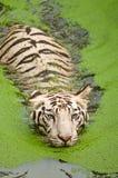pływacki tygrysi biel Obrazy Stock