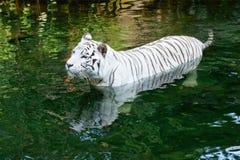 pływacki tygrysi biel Zdjęcia Stock
