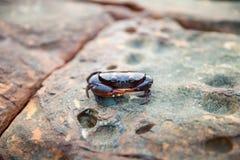 Pływackiego kraba siedlisko w dzikim Fotografia Stock