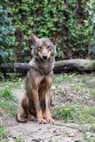 P0rtrait van een vrouwelijke Iberische wolf royalty-vrije stock foto's
