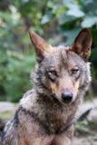 P0rtrait van een vrouwelijke Iberische wolf stock foto's