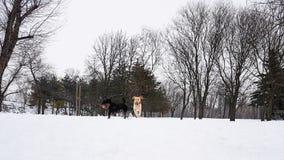 País das maravilhas do inverno Cães que jogam na neve Imagens de Stock Royalty Free