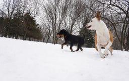 País de las maravillas del invierno Perros que juegan en la nieve imágenes de archivo libres de regalías