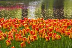 País de tulipanes Imagen de archivo