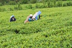 País del té Fotos de archivo libres de regalías