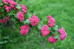 Paño mortuorio rojo sangre del sanguinea del Crataegus del espino Una rama con las flores fotos de archivo libres de regalías