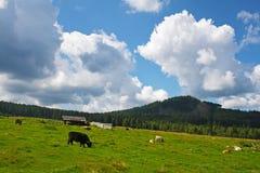Paśnika krajobraz z bydłem Zdjęcie Royalty Free