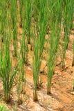 PA засаживает детенышей рис sa Вьетнам Стоковые Фото