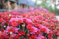 Pa rząd menchii i czerwieni kwiaty Obrazy Royalty Free