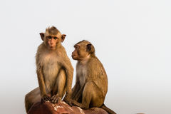 Paar-Affe lokalisiert Stockfotos