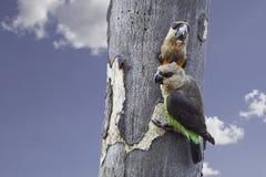 Paar Afrikaanse oranje-Doen zwellen Papegaaien Stock Afbeeldingen