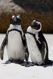 Paar Afrikaanse Pinguïnen (van de Domoor) Stock Foto's
