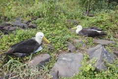 Paar albatrossen royalty-vrije stock foto