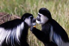 Paar apen bij dierentuin Stock Foto