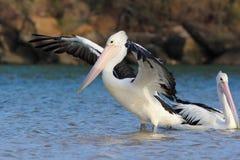 Paar Australische pelikanen (Pelecanus-conspicillatus) Stock Afbeelding
