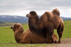 Paar Bactrische kamelen, één die ligt royalty-vrije stock afbeelding