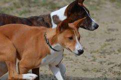 Paar Basenji-Honden Stock Afbeelding