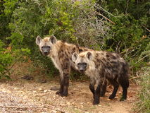 Paar Bevlekte Hyena's. stock afbeelding