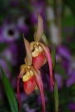 Paar Bloeiende Zeldzame Bloesems van de Orchideebloem royalty-vrije stock afbeeldingen