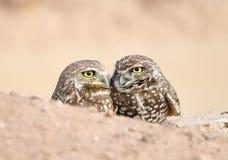 Paar Burrowing-Uilen Stock Foto
