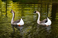 Paar chinese gooses. Paar domesticated chinese gooses birds swimming in the pond Stock Photos