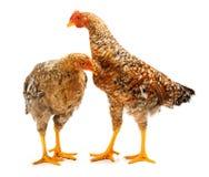 Paar die gespikkelde jonge kippen zich op wit bevinden Stock Afbeeldingen