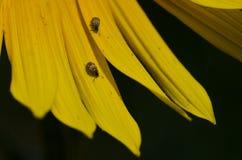 Paar die Insecten op de Gele Bloemblaadjes van een Zonnebloem rusten Stock Foto's