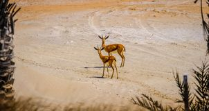 Paar die van Jonge Arabische Zandgazelle bij camera, Saadiyat staren royalty-vrije stock afbeelding