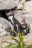Paar die van pinguïnen bij hun nest wachten royalty-vrije stock afbeelding