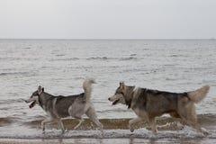 Paar die van schor honden op kust spelen Royalty-vrije Stock Foto's